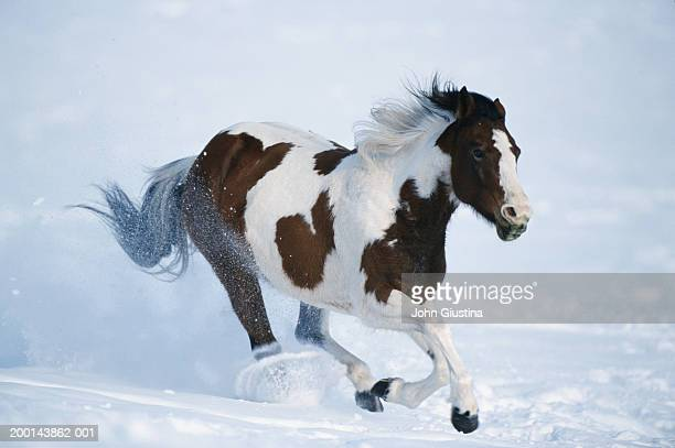 Paint horse running in snow