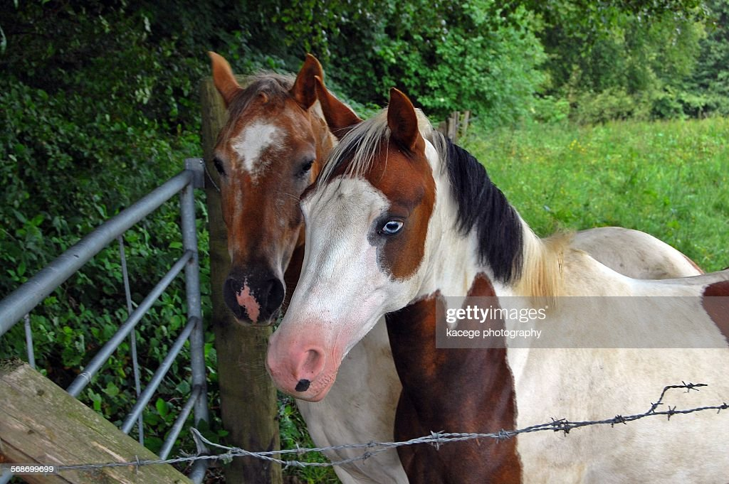 Paint horse with blue eye : Stock-Foto