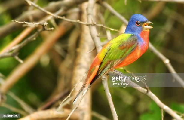 Painted Bunting Perched on a Branch