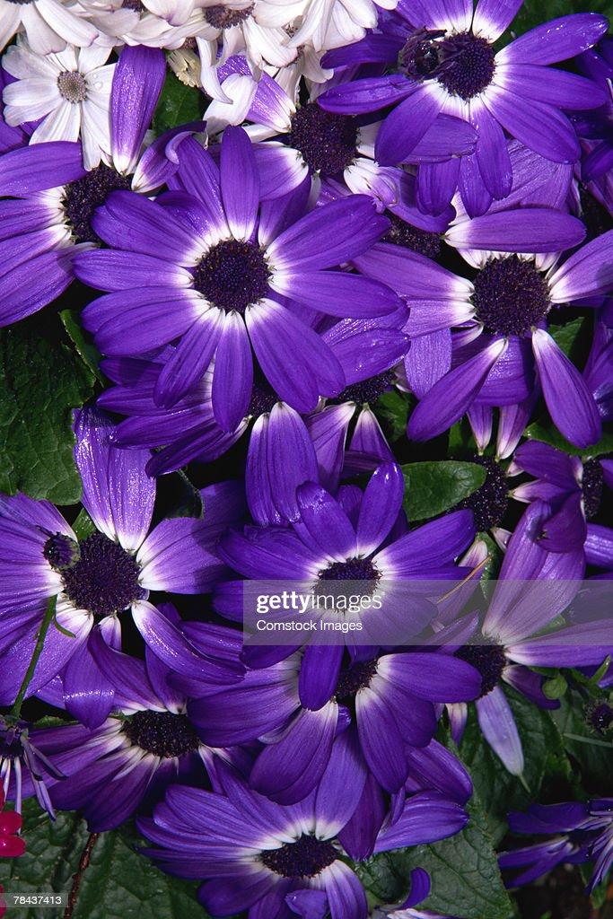 Painted daisies : Stockfoto
