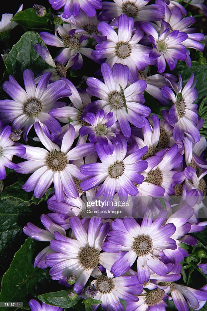 Painted daisies : Stockfoto