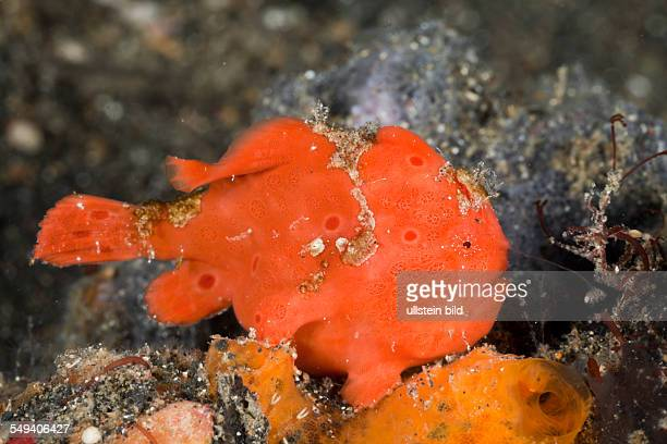 Painted Frogfish luring 3 Antennarius pictus Lembeh Strait North Sulawesi Indonesia