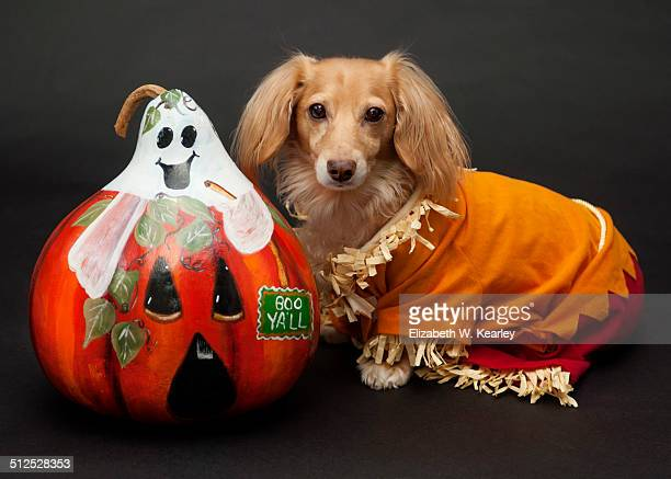 painted gourd and scarecrow dog - scarecrow faces stock photos and pictures