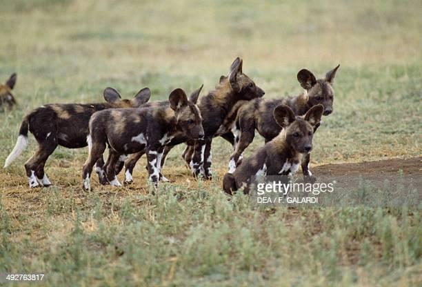 Painted Hunting Dog Canidae Serengeti National Park Tanzania