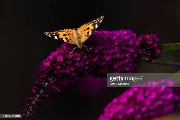 Painted Lady butterflies sit on a Buddleja shrub on July 28 2019 in Alexandria Scotland The UK is experiencing a once in a decade wildlife phenomenon...
