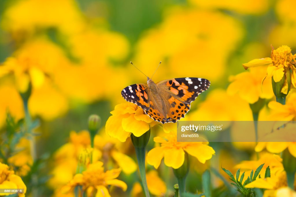 Painted Lady Butterfly and Fall Flowers : Stock Photo