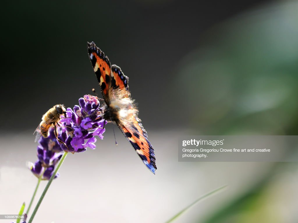 Painted Lady Butterfly And Honey Bee : Stock Photo