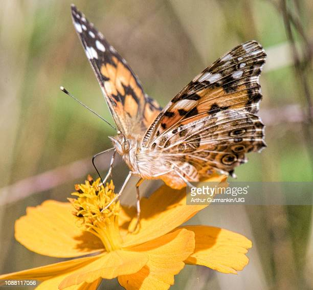 painted lady butterfly, cosmos flower - arthur foto e immagini stock