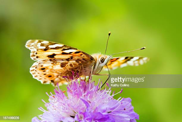 Painted Lady butterfly feeding on wild scabius