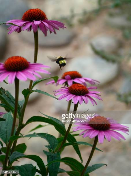 Painted Lady butterfly feeds on a Purple Coneflower or Echinacea