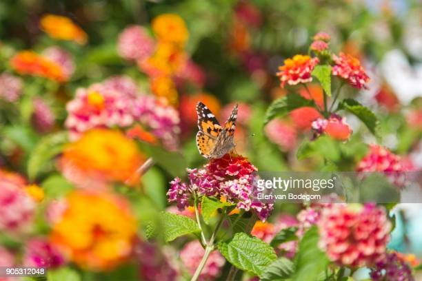 Painted lady butterfly on blooming bush of lantana flowers