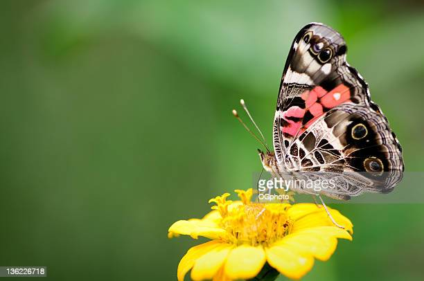 Painted lady butterfly on yellow flower.