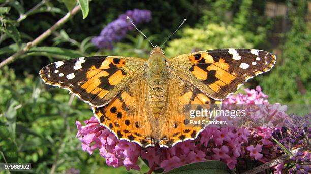 painted lady butterfly - milton keynes stock pictures, royalty-free photos & images