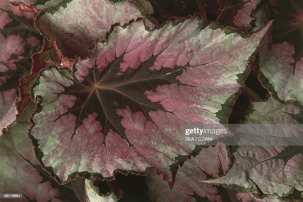 Painted leaves of a Begonia plant (Begonia rex) : News Photo