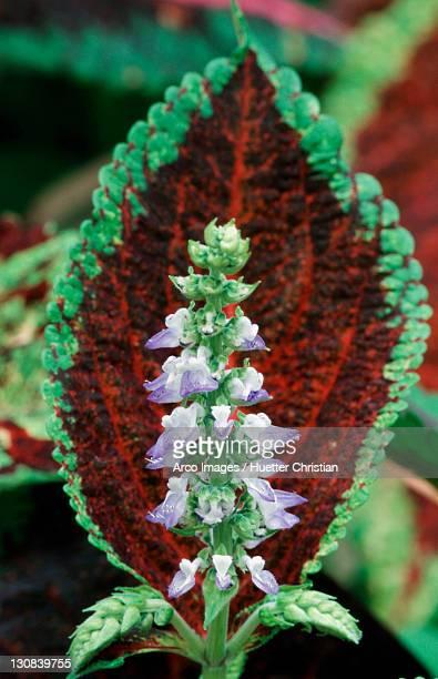 Painted Nettle (Coleus blumei, Solenostemon scutellarioides)