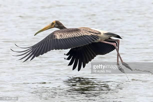 Painted stork flies over a lake near Samalauk in Myanmar's Irrawaddy region on June 8, 2020.