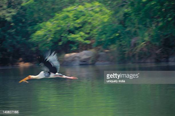 Painted stork (Mycteria leucocephala) flying over a lake, Ranganthittu Bird Sanctuary, Mandya District, Karnataka, India
