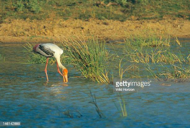 Painted stork hunts for fish by sweeping its halfopen bill from side to side Mycteria leucocephala Yala National Park was hit hard by the tsunami of...