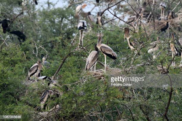 Painted storks in the landscape of wetland of Keoladev national park in Bharatpur on November 20, 2018 in Rajasthan, India.