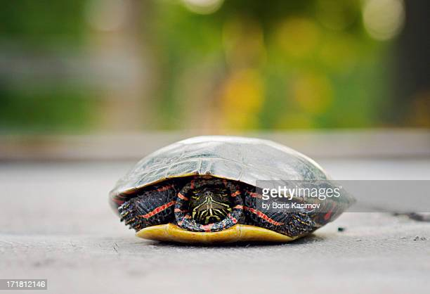 painted turtle - boris stock photos and pictures