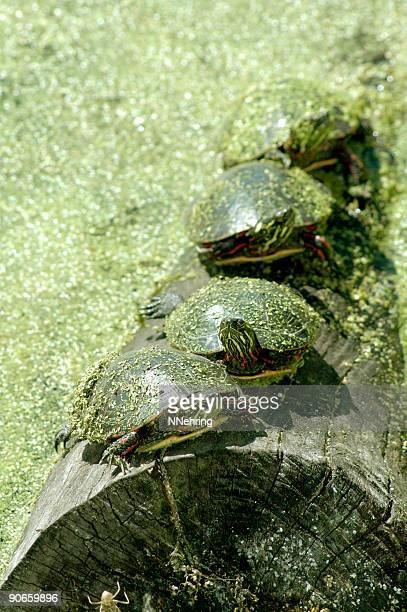 painted turtles, chrysemys picta, on log - moeras stockfoto's en -beelden