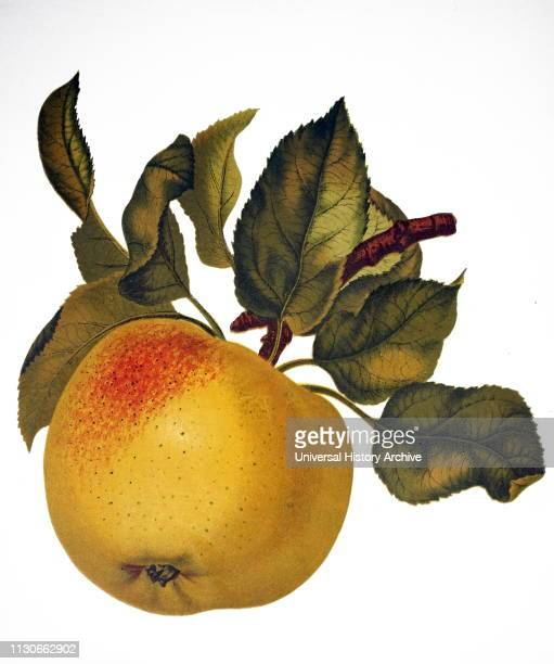 Painting depicting the fruit of an Indian bael, also known as a bael, Bengal quince, golden apple, Japanese bitter orange, stone apple or wood apple,...