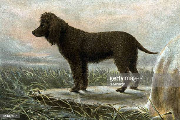 Painting of Irish Water Spaniels, 1881.