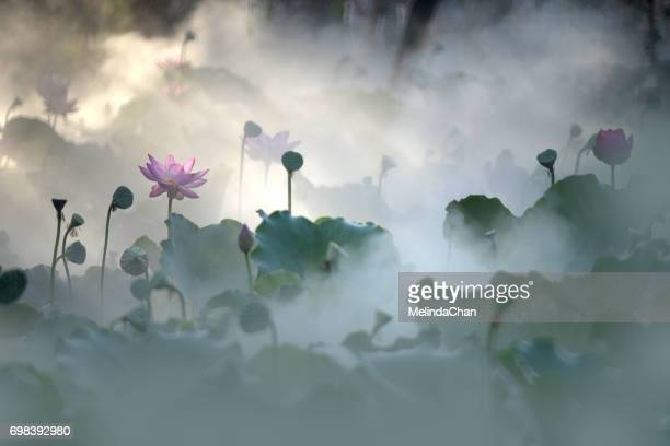 painting-like lotus flowers shot in misty morning - fiore di loto foto e immagini stock