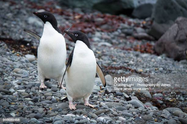 Pair of Adelie Penguins on a rocky beach