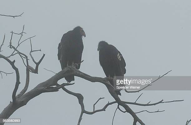 A pair of adult California Condor at the Hopper Mountain National Refuge near Fillmore This is for a story about the recent killing of a condor and...
