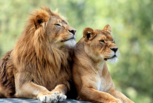 Pair of adult Lions in zoological garden 1027482604