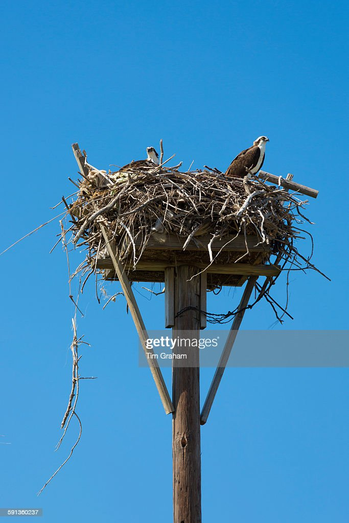 Osprey at Captiva Island, Florida, USA : News Photo