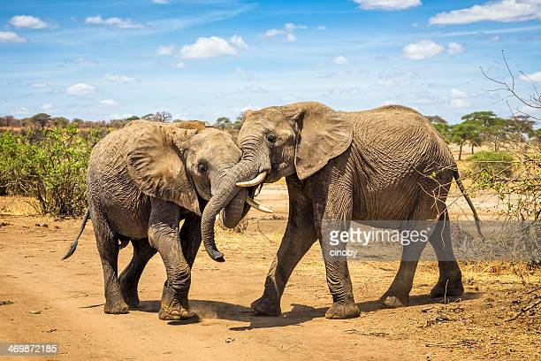 pair of african bush elephant copulating in tarangire n.p. - tarangire national park stock pictures, royalty-free photos & images