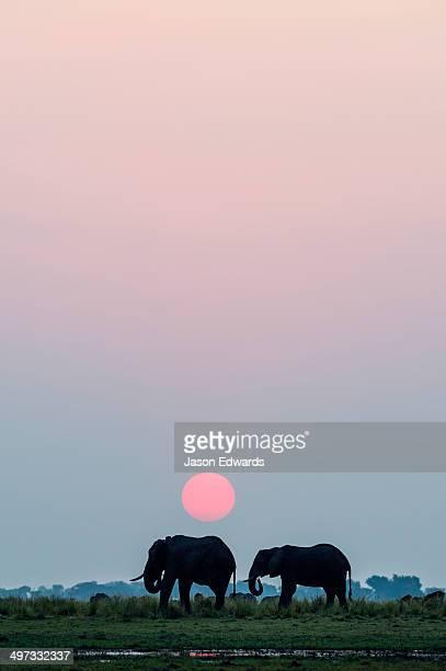 A pair of African elephants grazing on a wetland island beneath the setting sun.