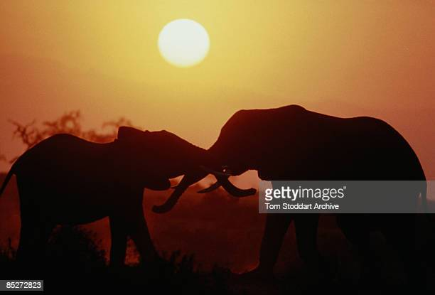A pair of African elephants with their trunks and tusks interlocked circa 1985