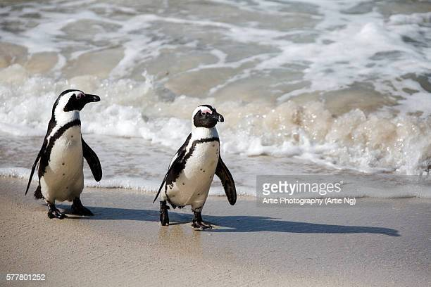 A Pair of African Penguins Walking on the Shore at Boulders Beach near Simon's Town, South Africa