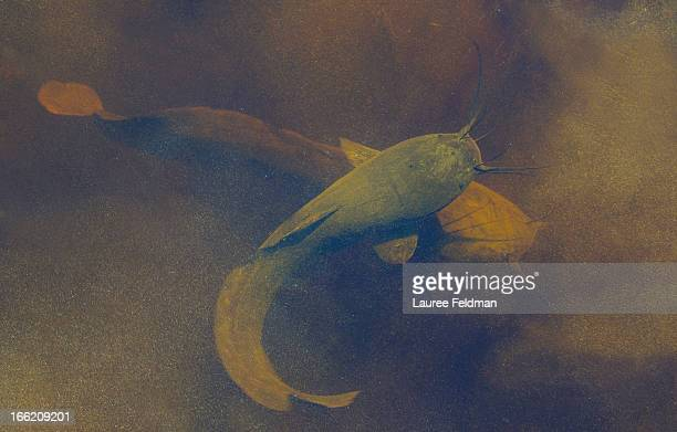 A Pair Of African Sharptooth Catfish Stock Photo - Getty Images