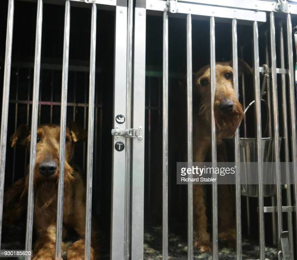 A pair of Airedale Terriers at the Crufts dog show at the NEC Arena on March 8 2018 in Birmingham England The annual fourday event sees around 22000...