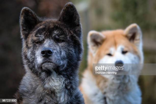 A pair of Akita Inu dogs in Japan/