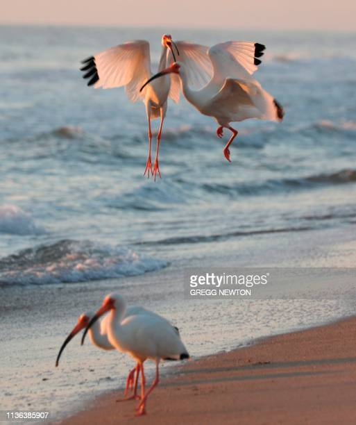 A pair of American white ibis fight while foraging for aquatic insects at daybreak along the seashore near the Kennedy Space Center in Florida on...