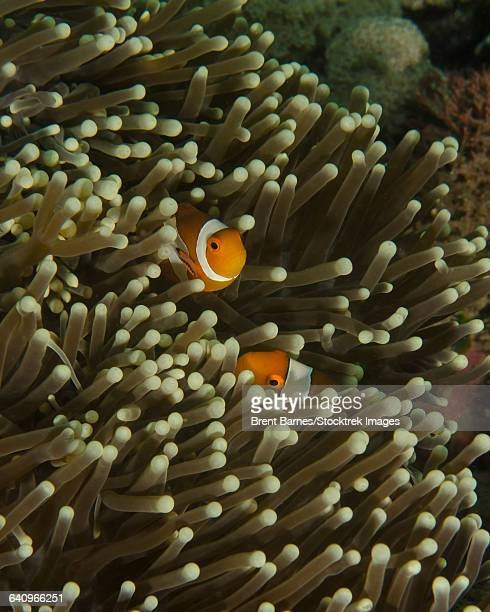 A pair of anemonefish in its host anemone, Lembeh Strait, Indonesia.