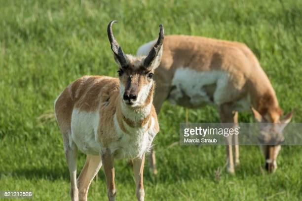 Pair of Antelope