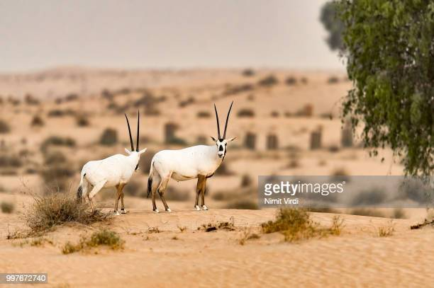 Pair of Arabian Oryx