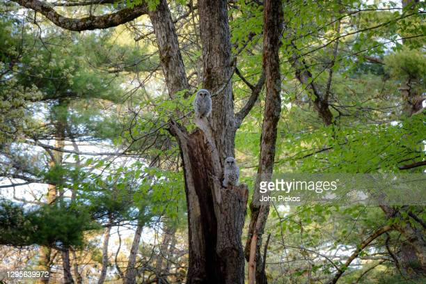 a pair of baby barred owls roost in a dead tree as the sun sets - bird's nest stock pictures, royalty-free photos & images