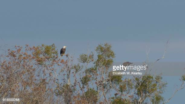 Pair of Bald Eagles in a Tree