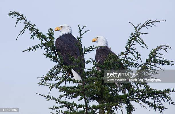 pair of bald eagles in tree - pair stock pictures, royalty-free photos & images