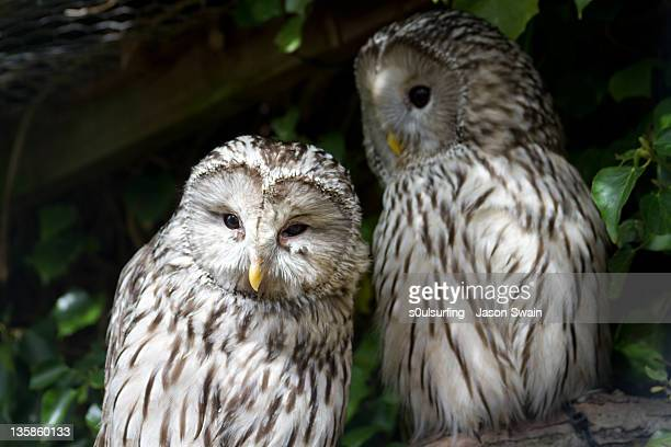 pair of barred owls - s0ulsurfing fotografías e imágenes de stock