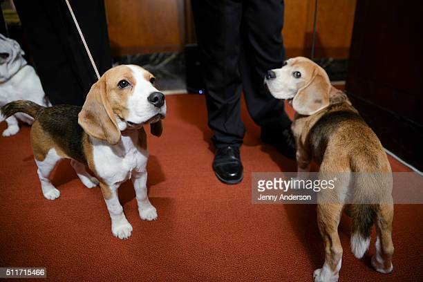 A pair of Beagles attend the American Kennel Club Presents The Nation's Most Popular Breeds Of 2015 at AKC Headquarters on February 22 2016 in New...