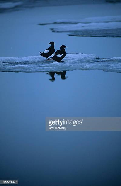 A pair of black guillemots pearch on an ice floe August 2001 off Cooper Island Alaska Ornithologist George Divoky has journeyed to Cooper Island off...