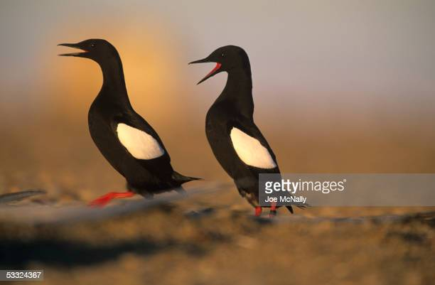 Pair of black guillemots squawk, August 2001 on Cooper Island, Alaska. Ornithologist George Divoky has journeyed to Cooper Island off the coast of...